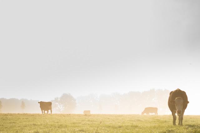 documentários sobre sustentabilidade: imagens de vacas pastando em meio a um campo com fumaça