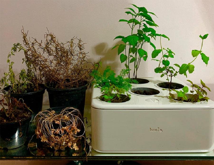 foto com três vasinhos de plantas murchas ao lado da horta caseira da Brota, verde e viçosa